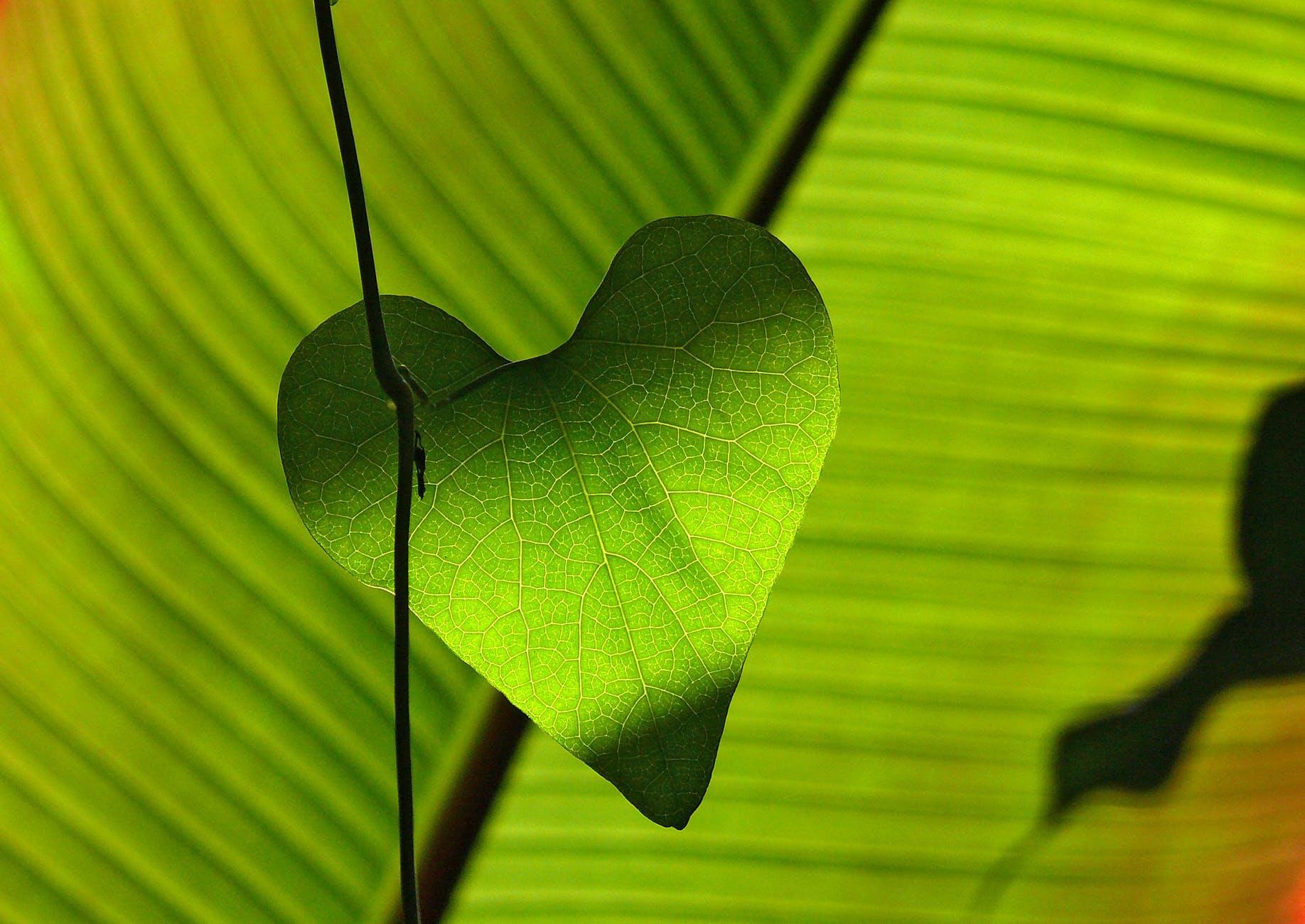heart leaf green shadow play