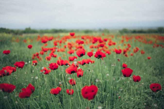 photo of poppy field