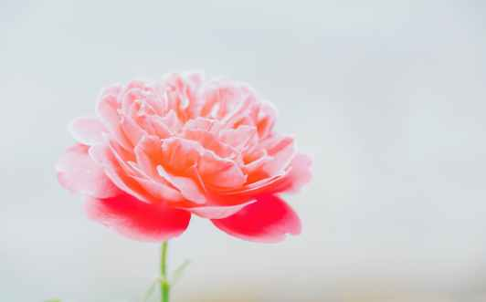 pink blooming peony flower in closeup photography