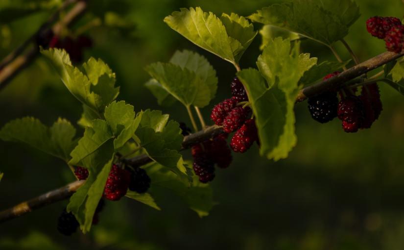 桑树下的恋人 Under the MulberryTree